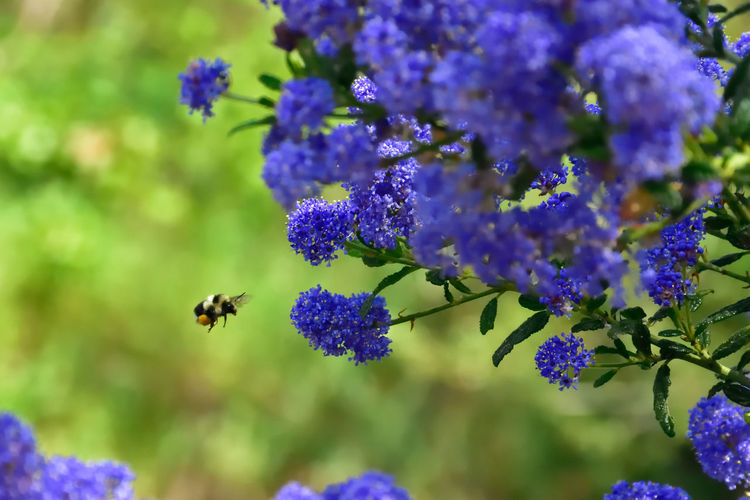 CLOSE-UP OF HONEY BEE Flying To PURPLE FLOWER