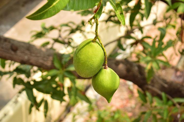 Beauty In Nature Close-up Enjoying Mangoes Fruit Green Color Karaikal Raw Mangoes Taking Photos