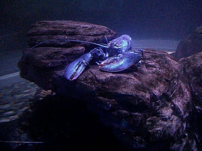 Blue Wave Blue Lobsters  Claws Out Marine Life Seabed Darkness Underwater Photography