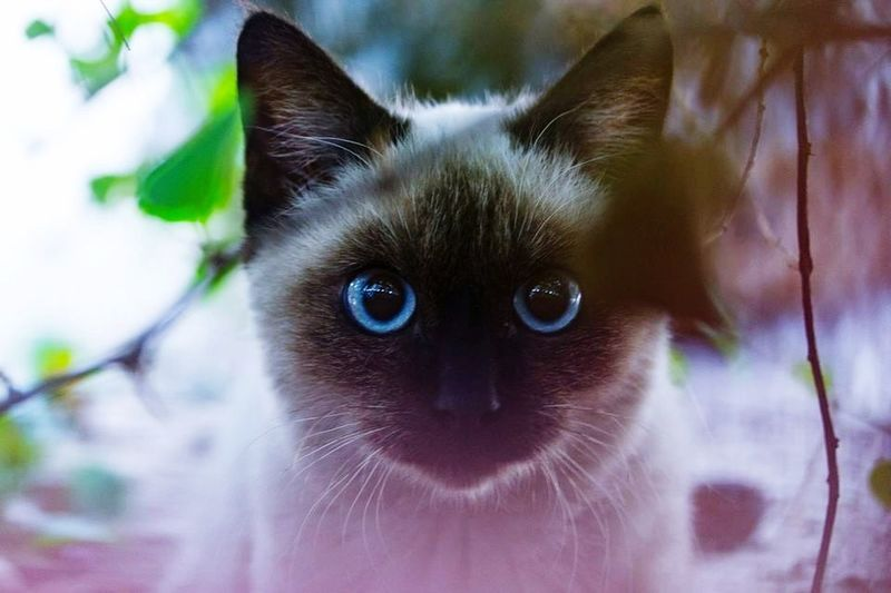 Mr blue eyes Purr Purrfect Cat Cats My Pretty Cat Feline Whisker Pets Domestic Cat Kitty Cat Catlove Purrfection Cute Pets