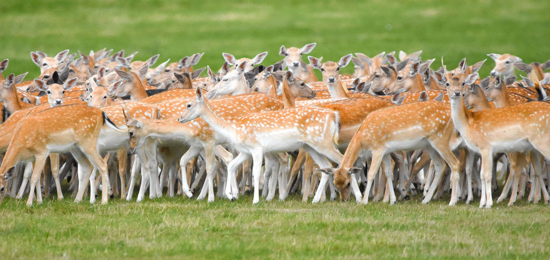 Deer Animal Themes Animal Wildlife Animals In The Wild Close-up Day Deers Field Grass Large Group Of Animals Mammal Nature No People Outdoors