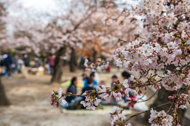 Picnic under cherry trees hanami around matsumoto castle, japan. closeup pink sakura flower