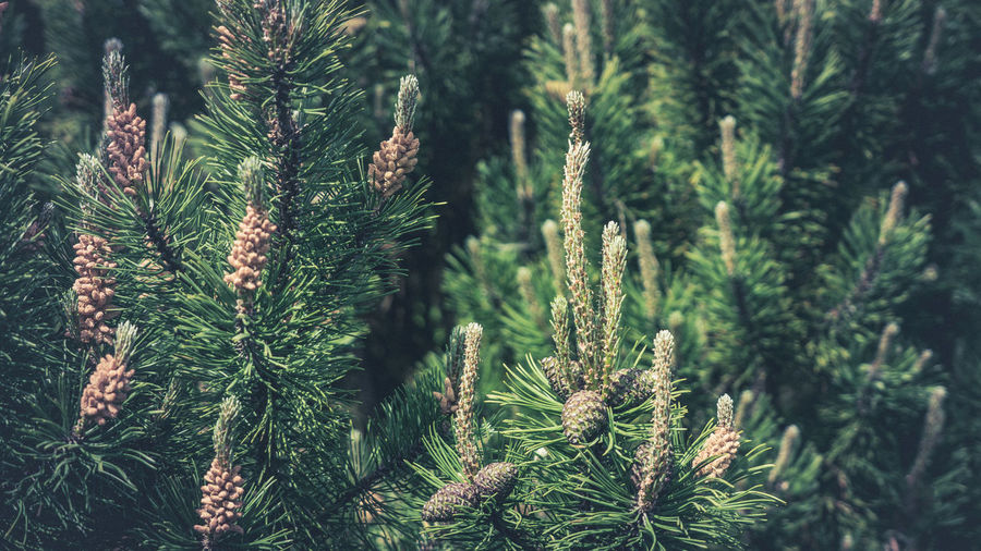 Beauty In Nature Branch Close-up Coniferous Tree Day Evergreen Tree Fir Tree Focus On Foreground Green Color Growth Land Nature Needle - Plant Part No People Outdoors Pinaceae Pine Cone Pine Tree Plant Tranquility Tree