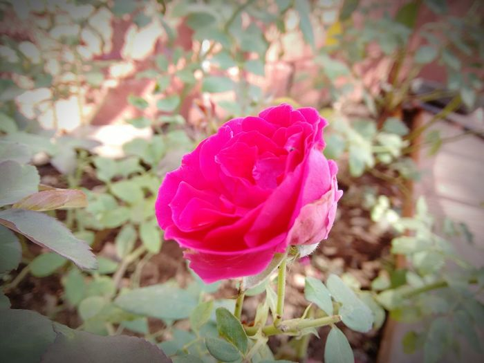 My 1st click.. Red Rose Red Nature Photography Nature Vintage Vintageflowers Todayspicture Myfirstphoto Myfirstclick Hitlike Beautiful Beautiful Nature Bestoftheday Lovelovelove Lovely Love First Eyeem Photo
