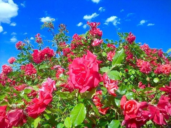 Flowers Rose🌹 colors Blue Sky