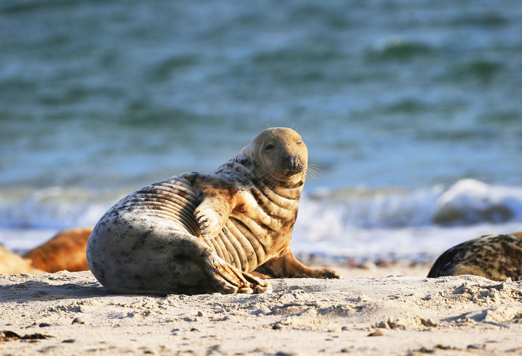 Close-up of sea lion on beach