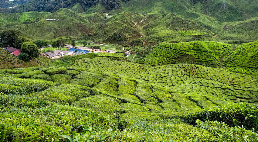 Agriculture Beauty In Nature Crop  Environment Farm Field Foliage Green Color Growth Land Landscape Lush Foliage Mountain No People Outdoors Plant Plantation Rural Scene Scenics - Nature Tea Crop Tranquility Tree