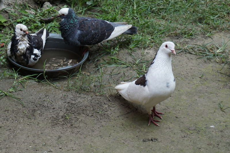 High Angle View Of Pigeons Perching On Field