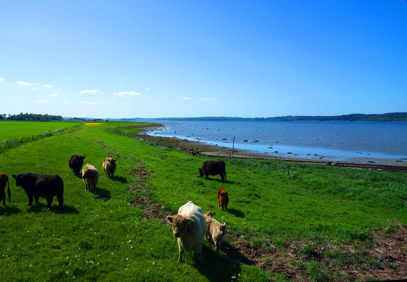 Blue Cattle Clear Cow Cows Day Farm Field Grass Grazing Lake Landscape Livestock Natural Nature Outdoors Sea Sky Water