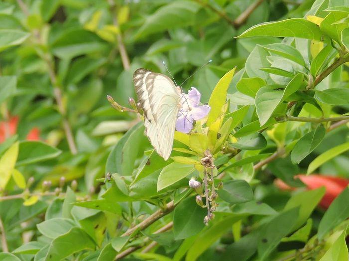 Polinización Coisa De Deus Baterfly Garden Buterflyflowers Insetosdobrasil Brasil ♥ Peruíbe