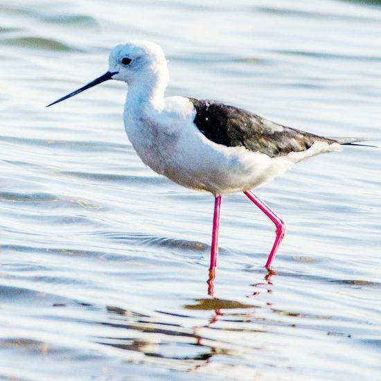 Sometimes people say climate change threatens the planet. Well, actually, the planet itself will survive. What is at stake here is humanity's ability to live on this planet. - Kumi Naidoo. - BLACK-WINGED STILT @ Jamnagar, Gujarat, India - Jan 2013. Bird Animal Wildlife Animals In The Wild Side View One Animal Water Nature No People Animal Themes Outdoors Day Flamingo Russian Travel Blog Russian Travel Natgeowild Exclusive_shots World Traveller Nikonphotographer Wild Life Photo Nature_collection Landscape_collection EyeEmNatureLover Beauty In Nature Bird Photography Ornithology  Water Bird Close-up Beautiful Birds