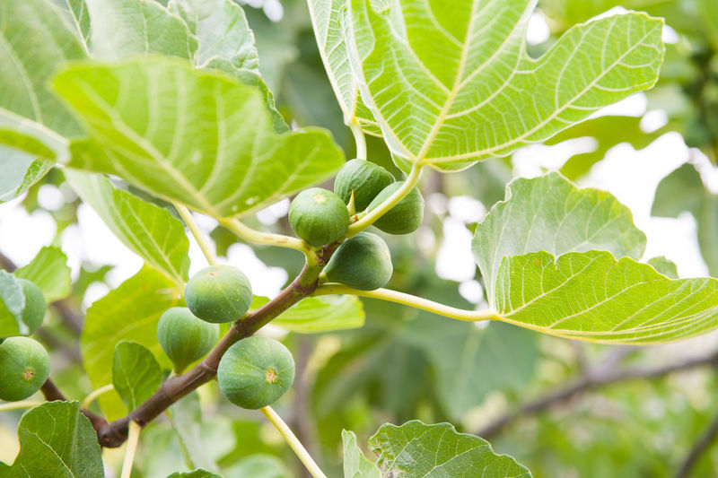 Close-up of figs on tree