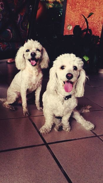 Puppies Frenchpoodle Happy Followme Dog Inlove♥