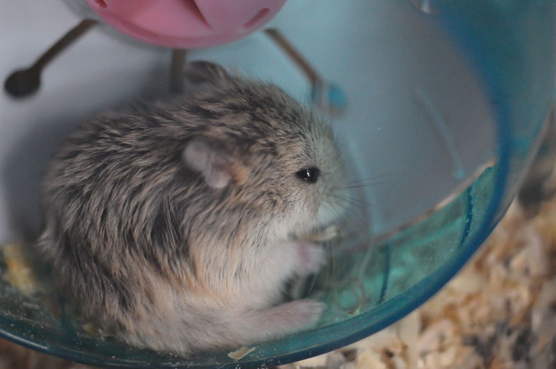 Pets Laboratory Hamster Close-up Rodent Animal Nose Whisker Nose Animal Ear