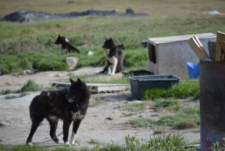 Ilulissat, Greenland - July, chained sled dog / husky in summer | sledge dogs / huskies Dog Love Husky Sled Dog Greenland Animal Working Animal Dog Summer Outdoors Scenery Tradition Day Sun Fleecy Fluffy Dogs Dogslife Animal Themes Poor  Chained Three Animals No People Domestic Animals Nature Mammal