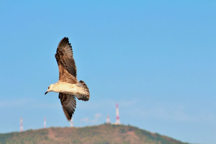 Seagull Wings Animal Themes Bird Blue Clear Sky Flight Of Bird Fly Flying Mid-air Nature Sea Sky Space Zoology