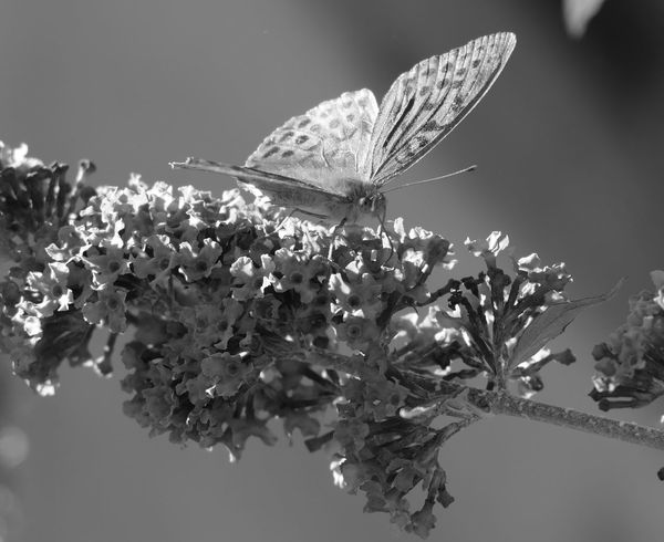 Creative Light And Shadow - Silver-washed Fritillary - EyeEm Nature Lover - Fine Art Photography - Light & Dark - Eye4photography  - Garden & Nature