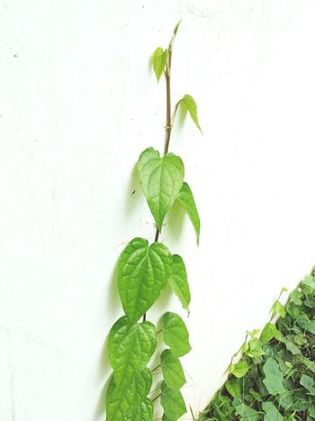 Unique Out Of The Box Breakout Of Mediocrity New Leaf Green Color Plant Wall - Building Feature Growth Wall Stem Freshness Close-up Beginnings New Life Fragility Day Creeper Growing Springtime No People Botany Green