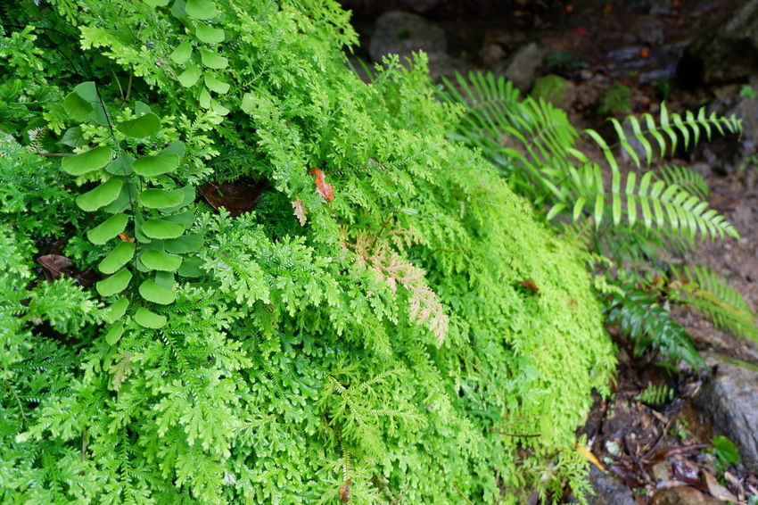 green fern on rock Road Selaginellaceae Spike Moss Beauty In Nature Close-up Day Environment Fern Focus On Foreground Freshness Green Color Growth High Angle View Land Leaf Moss Nature No People Outdoors Plant Plant Part Selaginella Springtime Stone Tranquility Tree Water