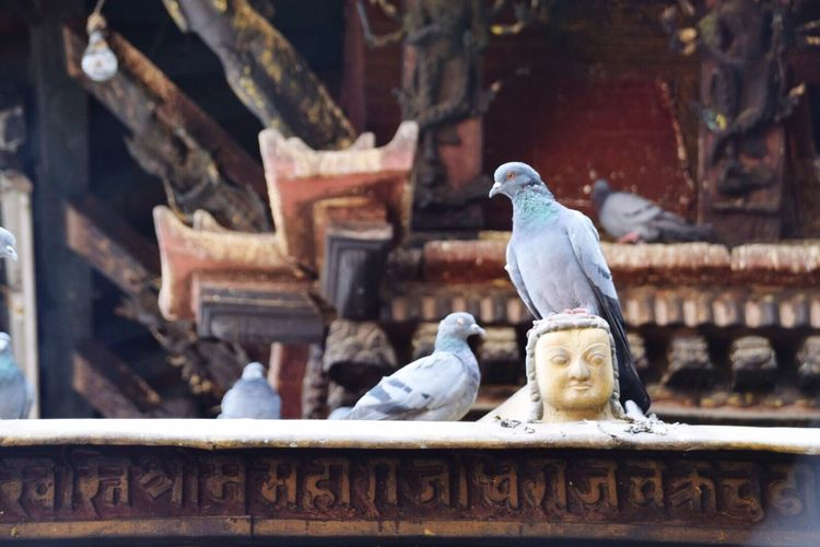 EyeEm Selects EyeEm Selects Pigeons Animal Wildlife Perching Animal Themes No People Bird Animals In The Wild Nature Family Of Pigeons Family Of Birds Birds On Temple Travel Destinations Travel Photography Katmandhu Nepal Kathmandu, Nepal Head Statue Hindu Temple Hindu Culture Outdoors Outdoors Photograpghy