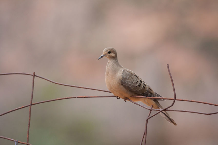 Mourning Dove Utah Bird One Animal Animal Wildlife Animal Perching Animals In The Wild Animal Themes Day Nature No People Outdoors Beauty In Nature Portrait Wildlife Photography Wildlife Birds Beauty In Nature Fences Mourning Doves Doves Brown Earth Tones