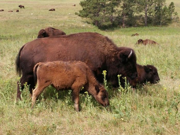 Buffalo family at custer state park