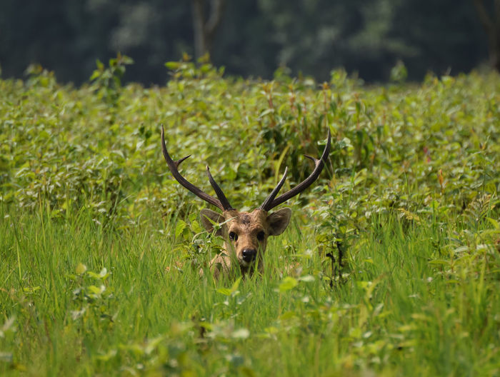 face of Deer in grassland Grass Leaf Deer Natural Beautiful Copy Space Face Outdoors Springtime One Animal View Wildlife Animal Close Up Horn Antler Stag Grass Animal Themes Deer Horned Reindeer