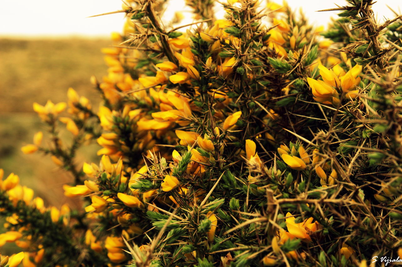 growth, flower, yellow, nature, plant, field, beauty in nature, no people, outdoors, close-up, petal, freshness, day, flower head, fragility