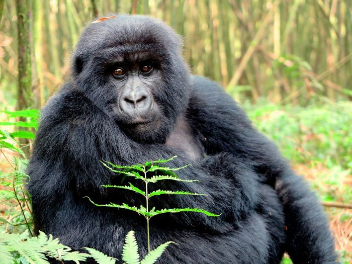 Good morning sir Endangered Species Ranger National Geographic EyeEmNewHere Eating Lonely Sitting National Park Hiking Forest Green Kingkong  Eyecontact Fur Fern Leaf Teenager Breakfast One Animal Nature Gorilla Mammal Black Color Ape Animal Themes Outdoors Animals In The Wild Portrait Close-up Beauty In Nature