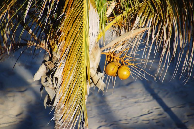 Sandy Beach Coconut Los Cabos EyeEm Selects Nature Plant Food Sunlight Fruit Palm Tree