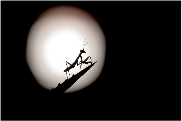 Mante religieuse / mantis religiosa Close-up Animal Themes Animal Black Background Animal Wildlife Nature Invertebrate Insect Silhouette Entomology Entomologie Mante Religieuse Mantis Macro Contre-jour Lumière 7dii Canon Canon7DII Insecte Silhouette Ombre