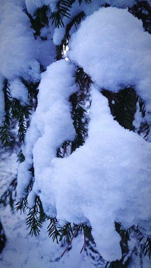 Snowy spruce. Snow And Tree Wintertime Wintertree Spruce