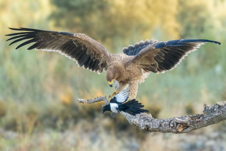 Spanish Imperial Eagle Animal Wildlife Animals In The Wild Bird Bird Of Prey Day Nature No People Outdoors Vertebrate