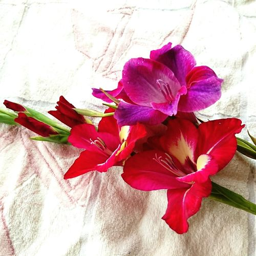 The elegant costume daughter lying down… Shall I kiss you… Gladiolus Elegant Flowers Sensual Flower Sensualart Red Flower Purple Flower Flower Head Flower Petal Red Table Close-up
