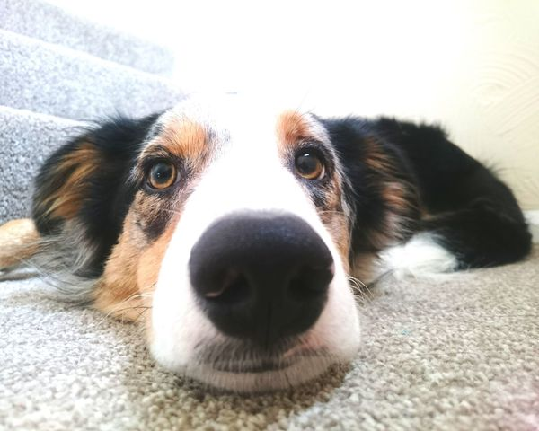 High Exposure Indoors  Animal Head  Domestic Animals One Animal Dog Close-up Border Collie Lying Down Looking At Camera Puppy Portrait Relaxation Time Obedience Fed Up Bored At Home Bored Puppy Photography Puppy Boredom