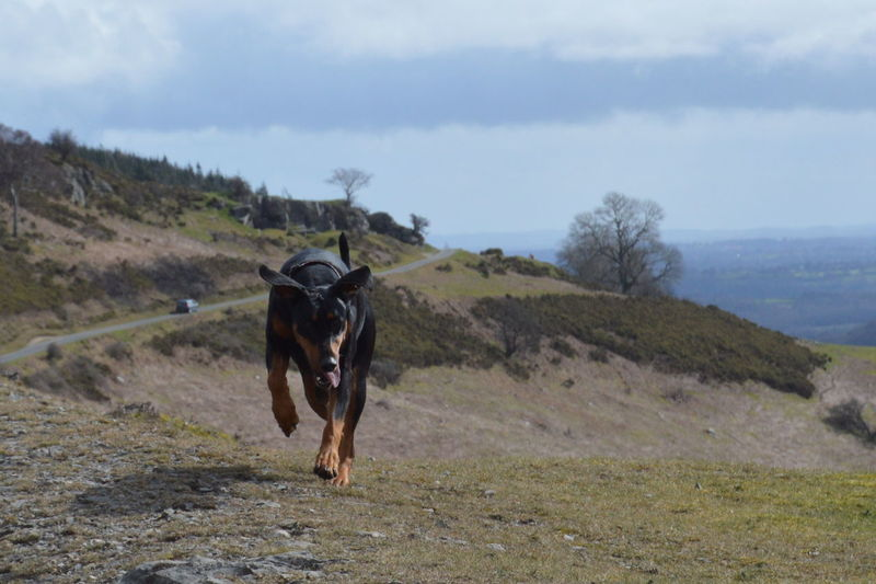 Here Belongs To Me Landscapes With WhiteWall A Walk On The Hills Wales Llangollen Dogwalking Doberman  Dobe Days Out HillTopView Enjoying Life Beautiful Nature Happy Dog