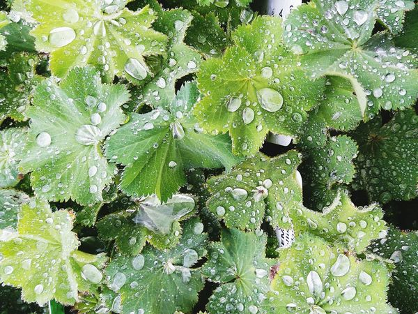 Rain drops Textured  Outdoors Close-up Water Nature Day Fragility Green Leaves🌿 No People Fleshyplants Fresh Freshness Raindrops RainDrop Rain Clear