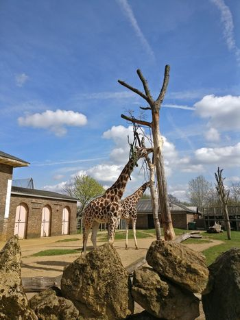 Tree Sky Palm Tree PlantAnimals In The Wild Nature Beauty In Nature Close-up giraffe Travel Destinations No People Outdoors Day LONDON❤ Zoo Londonzoo Animal