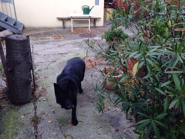 Greens Dog BlackDog Germanshepherd Blackgermanshepherds Backyard Oleander Watering Can Greenwateringcan Autumn Animal Themes Outdoors