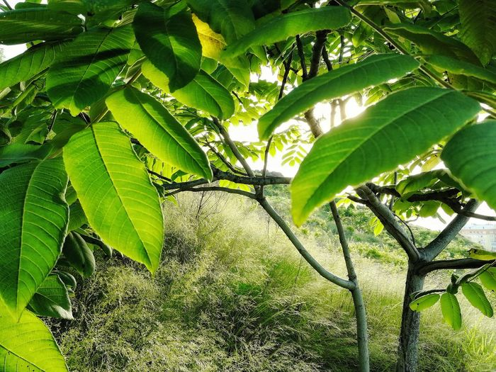 Manchurian nut tree against the sunset sky Summer Manchurian Walnut Manchurian Juglans Juglans Mandshurica Sunlight Nature Tree Leaf Branch Sunlight Close-up Plant Green Color Leaves Green Greenery Young Plant Plant Life Woods Flora