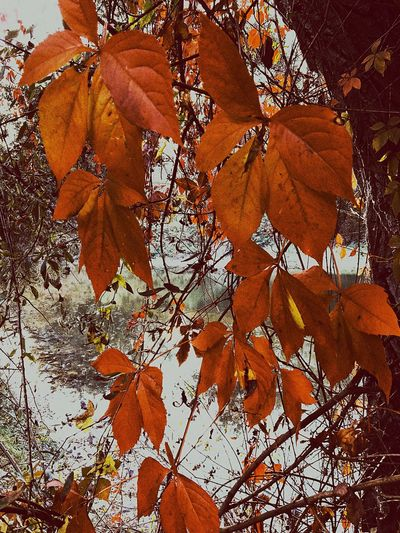 Real autumn Leaf Autumn Season  Leaves Orange Color Branch Low Angle View Close-up Beauty In Nature Scenics Tranquility Outdoors Nature Tree