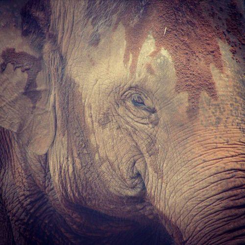Elephant Close-up Sydney Australia Tarongo Zoo Wisdom Travel Tourist TBT  Previous Life Sad Nature Eyeoftheworld Endangred Protected