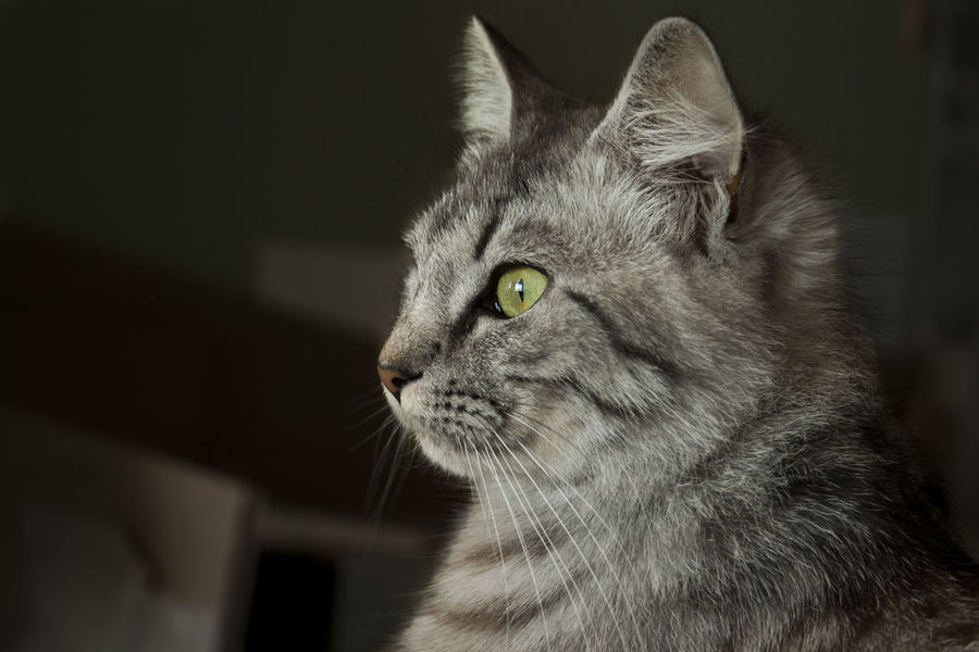 Eye on the view. Animal Eye Animal Themes Animals Close-up Day Domestic Animals Domestic Cat Expression Feline Focus Focus On Foreground Indoors  Mammal No People One Animal Pets Tabby Cat Whisker Yellow Eyes