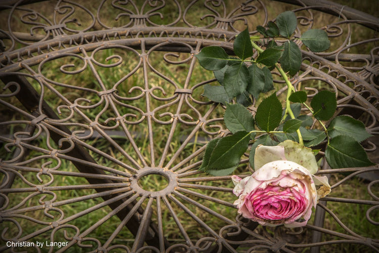 HDR Roses