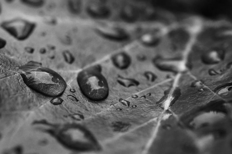 Drops on a leaf Selective Focus Close-up No People Indoors  Full Frame Backgrounds Leaf Plant Part Still Life Leaves Nature Drop High Angle View Day Surface Bnw Bnw_collection Blackandwhite Water Drops Drops Of Water Macro Nikon Nikonphotography Macro Photography