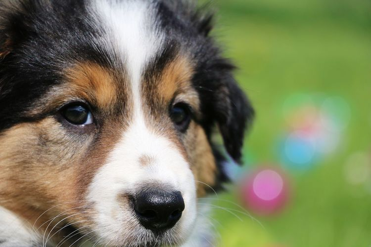 small border collie puppy portrait Baby Beautiful Border Collie Tricolor Animal Themes Ball Close-up Colored Background Day Dog Garden Looking At Camera No People One Animal Outdoor Outdoors Park Pets Portrait Puppy Summer Welpe