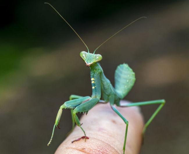 Close-up of praying mantis on hand