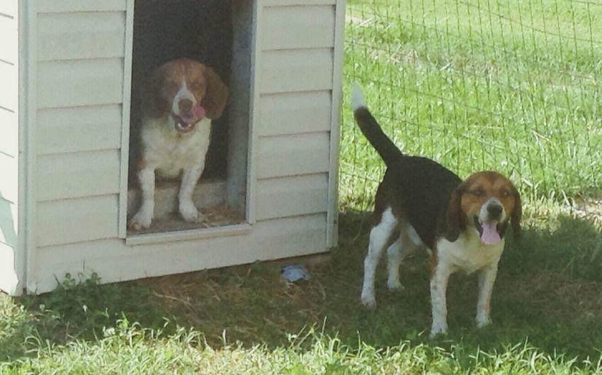 My boys Reverand and Zackary Beagle Reverand Zackary I Love My Dogs