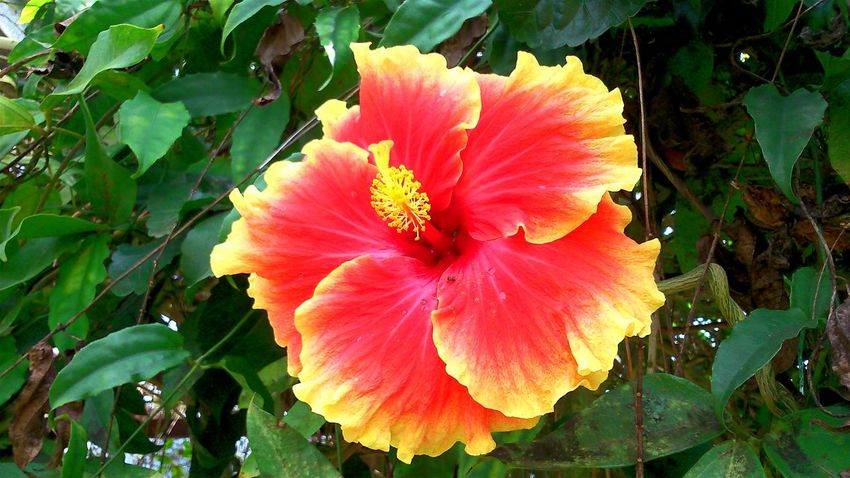 Bunga Raya Hibiscus 🌺 Hibiscus Flower Hibiscus Full Bloom Hibiscus Close-up Hibiscus Is Beaut <3 Colour Of Life