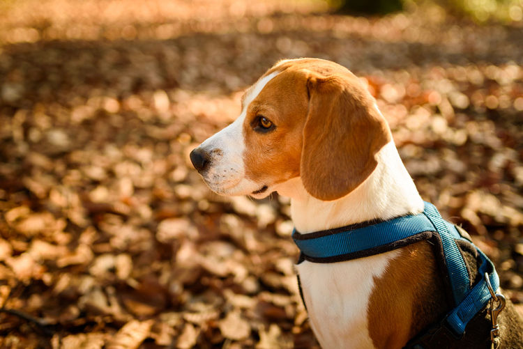 The beagle dog in sunny autumn forest. alerted hound portrait. listening to the woods sounds.